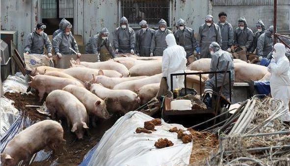 非瘟疫情蔓延 又一国家沦陷 韩国发现首例非洲猪瘟