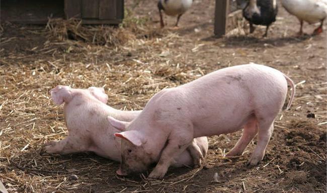 9月17日全国各省市仔猪价格报价表,湖南桃江外三元仔猪118元/公斤