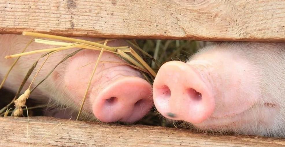 如果今年不出非瘟疫苗,难道你就不养猪了?