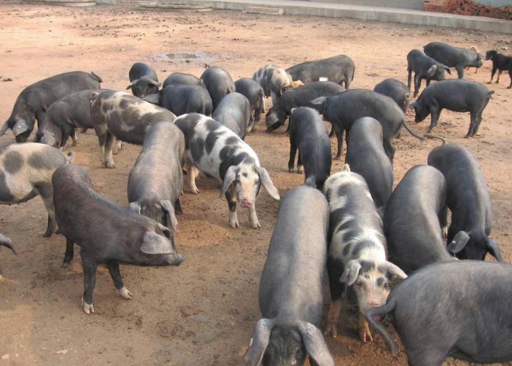9月17日全国生猪价格土杂猪报价表,上海猪价月涨幅持续扩大