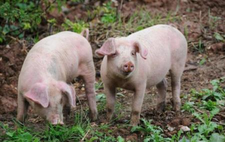 9月17日全国生猪价格外三元报价表,预计国庆黄金周会带动猪价上涨
