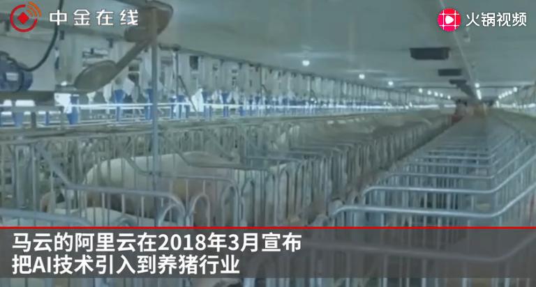 """储备肉稳""""猪""""!3万亿市场;马云刘强东们也要养猪"""
