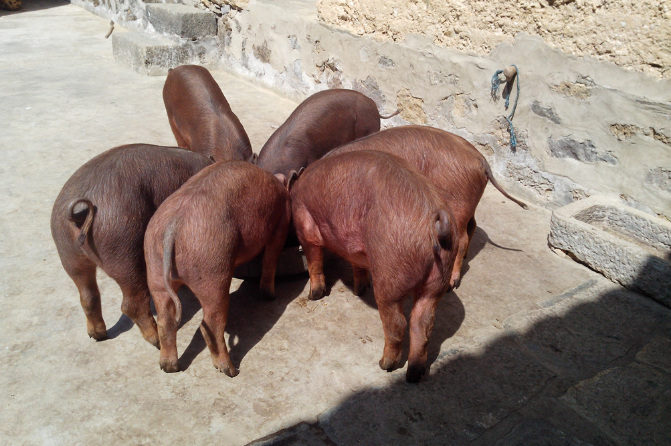 9月18日全国生猪价格土杂猪报价表,受临近节假日刺激,土杂猪价格上涨为主