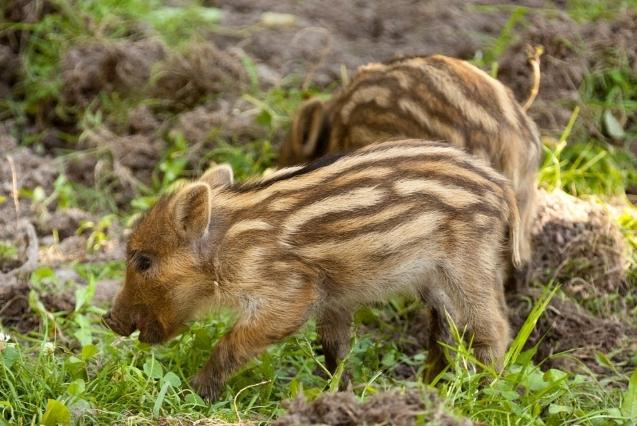 9月18日全国生猪价格外三元报价表,预计十一黄金周会刺激猪肉消费