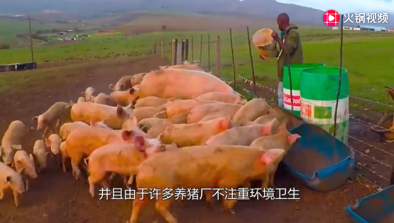 中国农村养的猪,为什么会感染上非洲猪瘟?