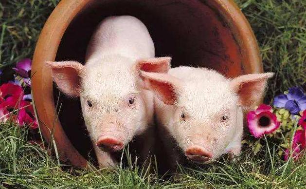 9月19日全国各省市仔猪价格报价表,广东仔猪报价价差高达一倍