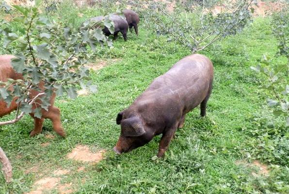 9月19日全国生猪价格土杂猪报价表,主要以涨势为主,北京猪价上涨0.68元/公斤