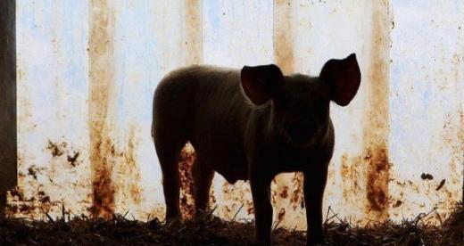 疑似感染非洲猪瘟病毒,泰国清莱府已处理700多头生猪