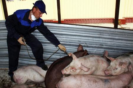 泰国清莱大量生猪疑感染非洲猪瘟死亡