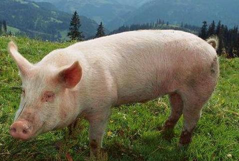 9月20日全国生猪价格外三元报价表,今日猪价抬头上扬,要压不住了?
