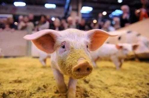 北方生猪产能呈恢复性增长,南方尚未恢复元气保供稳价压力大
