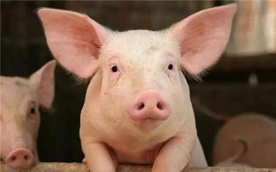 四川猪价直逼17元/斤,一天新签13个规模养殖项目,预计产能增加超200万头
