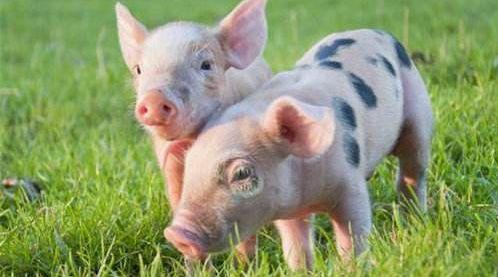 保育猪管理五要点:净、挑、差、散、气