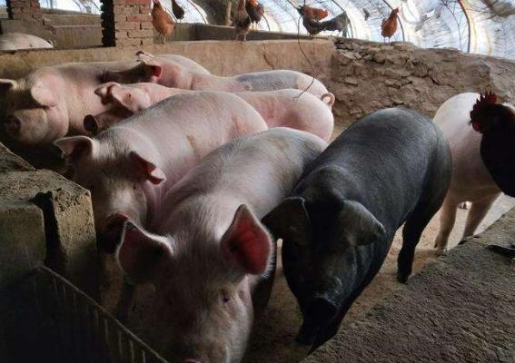 9月22日全国生猪价格土杂猪报价表,1万吨储冻肉投放市场,猪价涨幅收窄