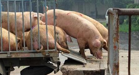 9月22日全国生猪价格内三元报价表,内三元猪上涨为主,涨幅空间受限
