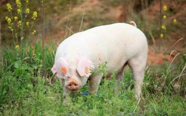 9月22日全国生猪价格外三元报价表,黑龙江生猪价格跌幅高达6.85元/公斤