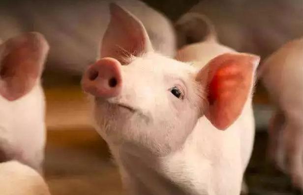 安徽:新政策安排2000万元扶持生猪生产,保障市场供应