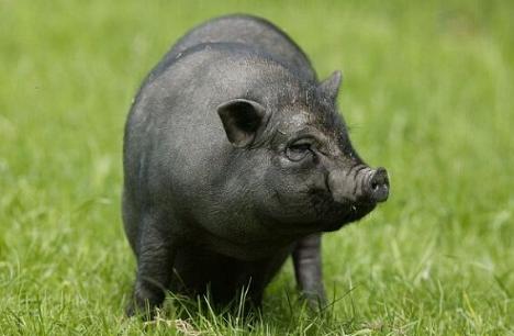 农业部:加快提升保护利用能力,保障地方猪等畜禽遗传资源安全!
