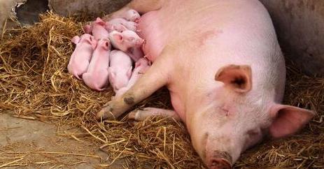 9月23日全国各省市仔猪价格报价表,广东仔猪价格均价每公斤破百元