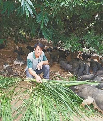养猪拱开致富门,白沙养猪户养殖五脚猪成致富带头人