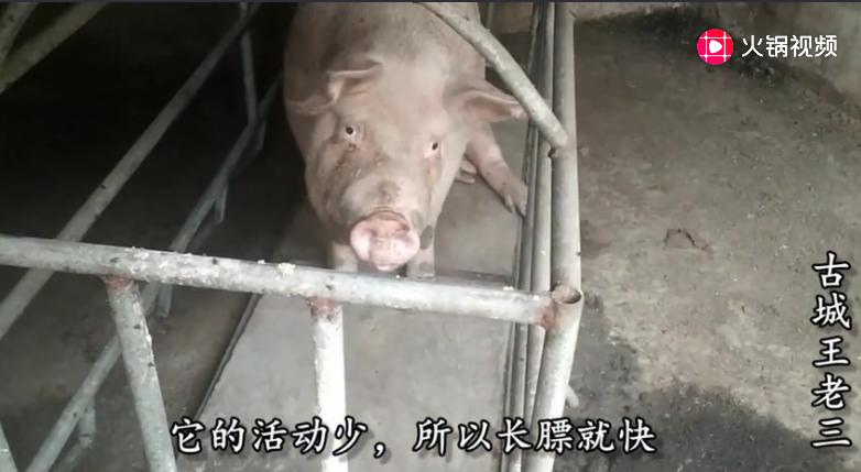 怎样让猪长的快长的肥?晋中农村养猪户有好办法,效果确实不错
