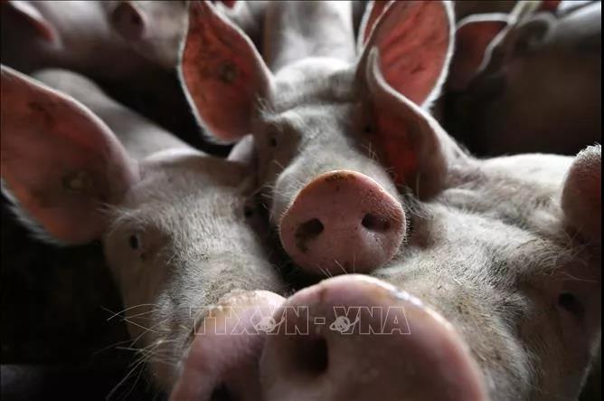 菲律宾首都马尼拉出现非洲猪瘟