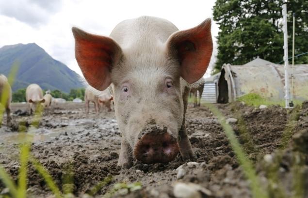 9月24日全国生猪价格土杂猪报价表,猪价稳定走势预计会保持到节前