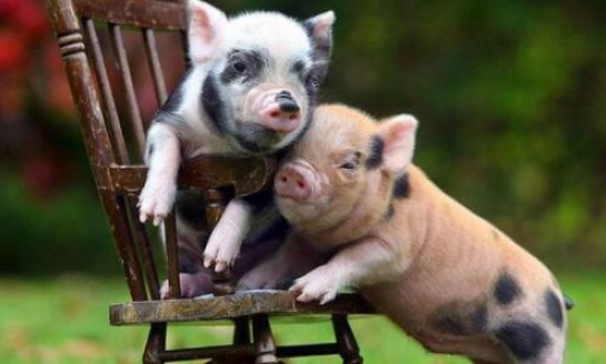 统计局:9月中旬生猪价格比上旬价格上涨3.5%