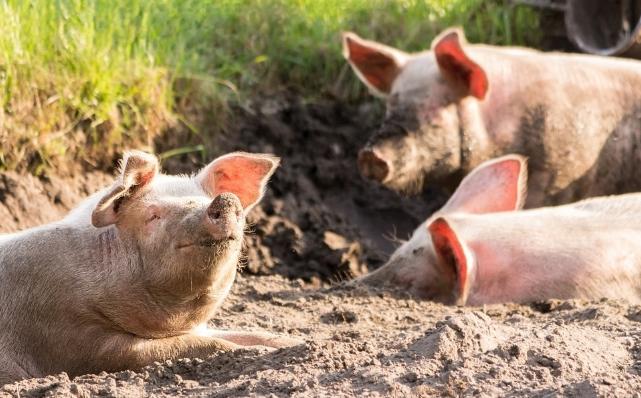9月25日全国生猪价格土杂猪报价表,土杂猪价格上涨幅度略有回升