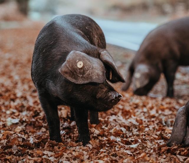 9月25日全国生猪价格内三元报价表,内三元猪价全线飘红