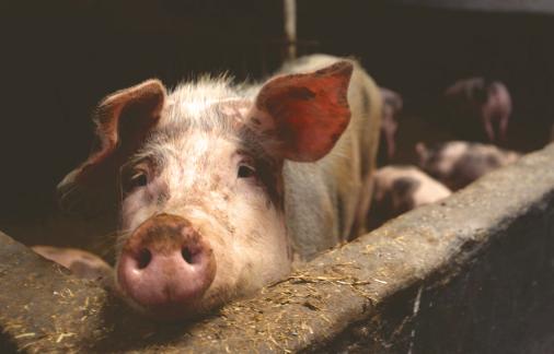 9月25日全国生猪价格,保持震荡上行,又有1万吨储备冻猪肉投放