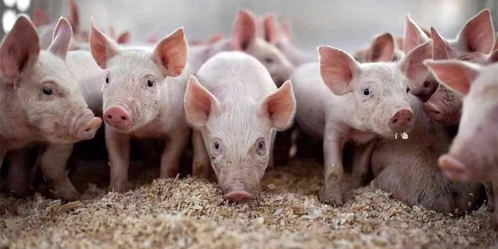 震惊!受非洲猪瘟影响,天邦股份半年处理18万母猪
