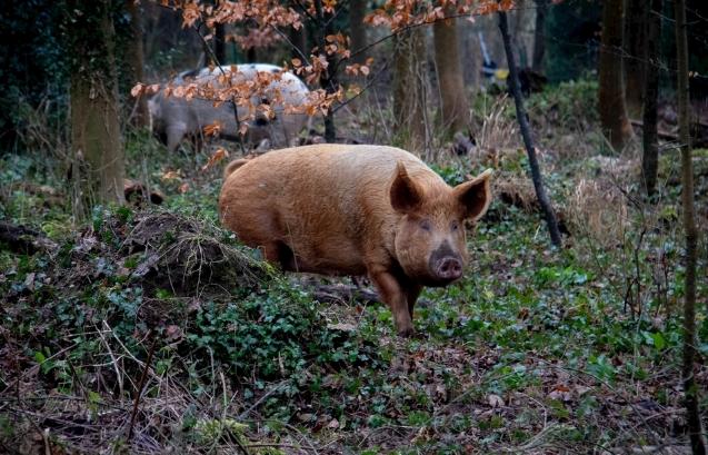 9月26日全国生猪价格内三元报价表,今日四川内三元猪价报价全国最高
