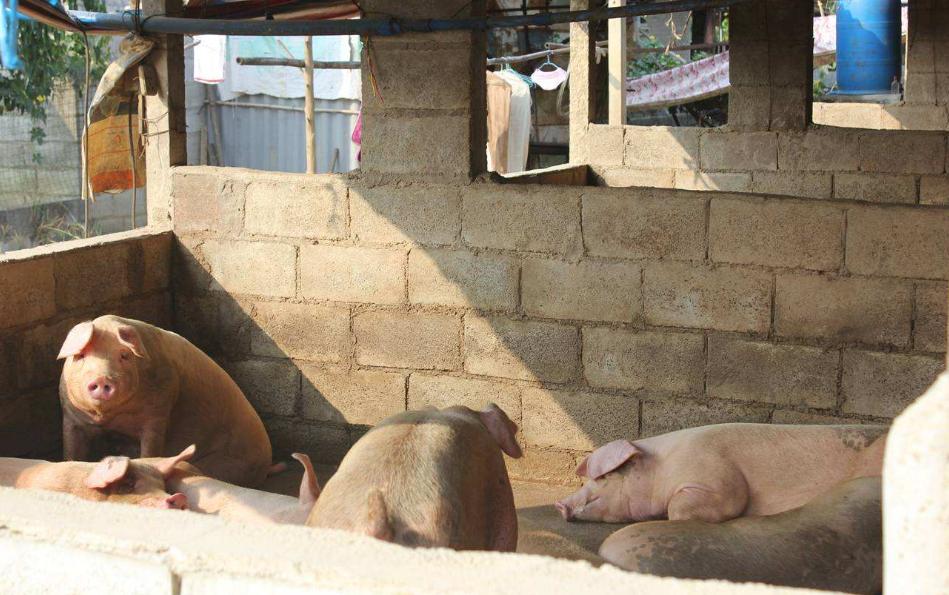 9月27日全国生猪价格土杂猪报价表,今日土杂猪价格走势以上涨为主