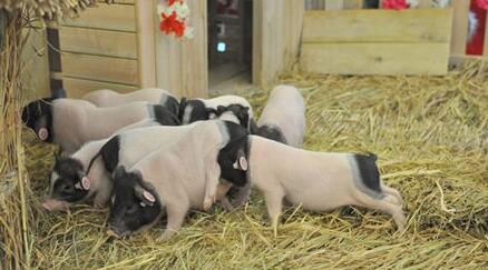 9月27日全国各省市仔猪价格报价表,四川游仙区外三元仔猪报价全国之首