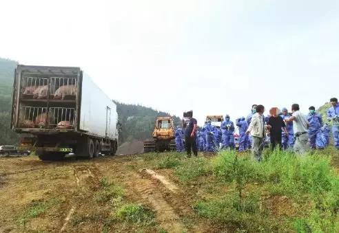 """奥迪车带路,17名驾驶员,一场""""有组织""""的非法调运被查获!468头生猪遭无害化处理"""