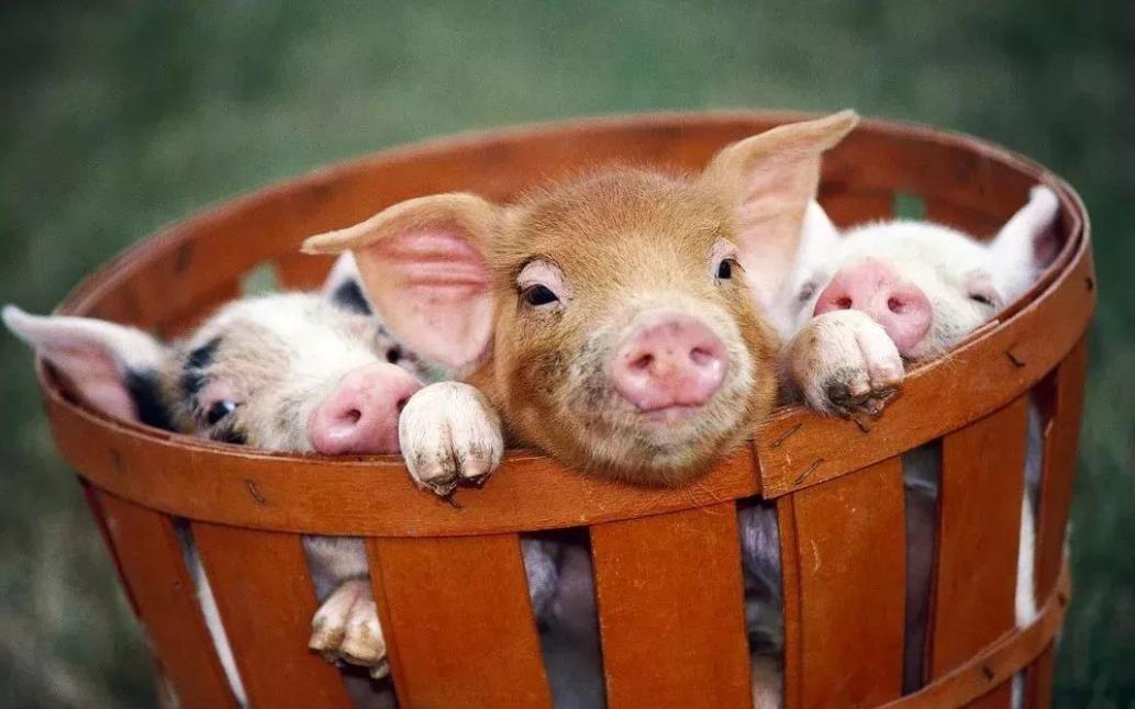 养猪场复产前的准备工作,清场消毒后先要制定复养工作计划