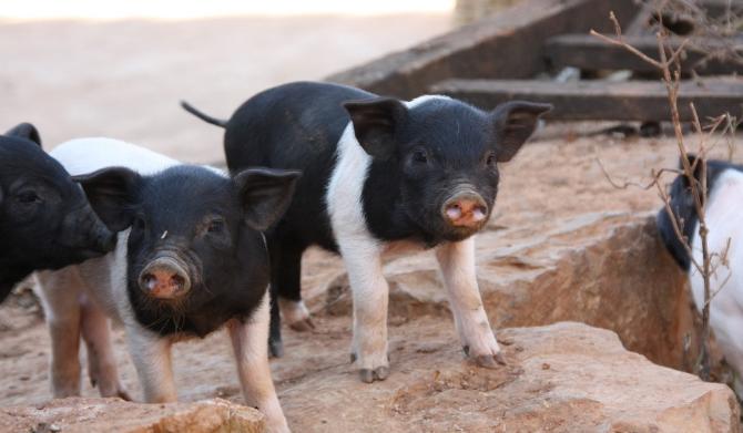 9月29日全国各省市仔猪价格报价表,全国多地仔猪价格均有上涨