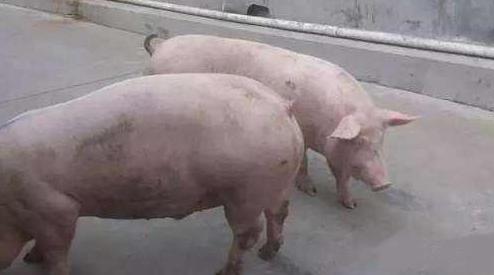 9月29日全国生猪价格内三元报价表,国庆节前生猪价格基本保持稳定