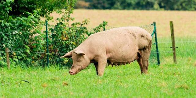 年底前生猪产能将探底趋稳,猪肉市场供应有望逐步稳定