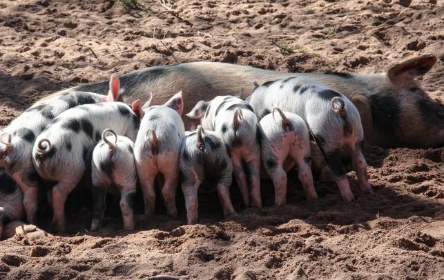 9月30日全国各省市仔猪价格报价表,云南省仔猪价格回升
