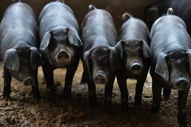 10月2日全国生猪价格土杂猪报价表,全国大部分省份猪价持平略显微跌!