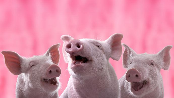 四川克隆猪诞生