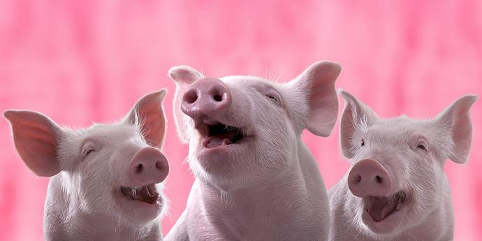 最新消息,四川首批体细胞克隆地方猪诞生!