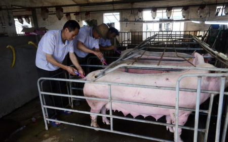 人工授精注意这几点,母猪产仔数可以突破13头