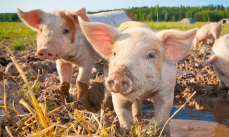 10月3日全国各省市仔猪价格报价表,广东仔猪领居高位,河南跟居于次!