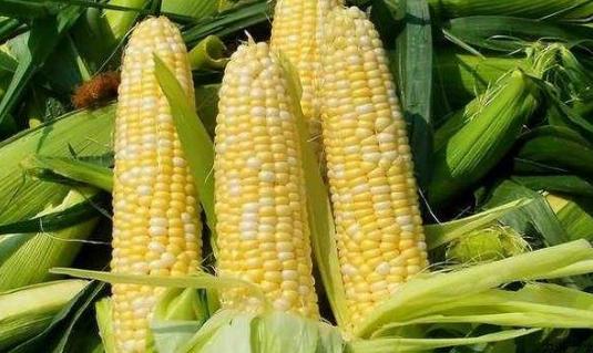 10月4日全国玉米价格行情表,今日玉米价格止跌,下跌幅度可控