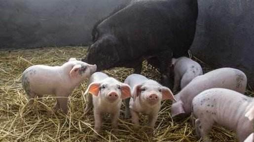 10月4日全国各省市仔猪价格报价表,广西博白仔猪价格低于云南地区仔猪报价