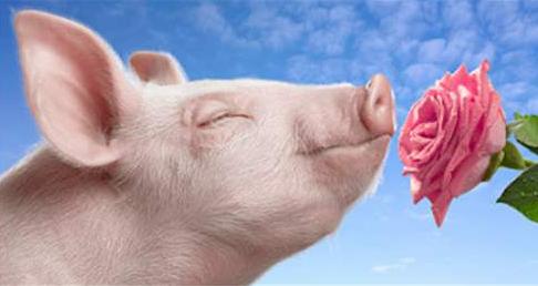 10月4日全国生猪价格土杂猪报价表,土杂猪价格月涨幅收窄