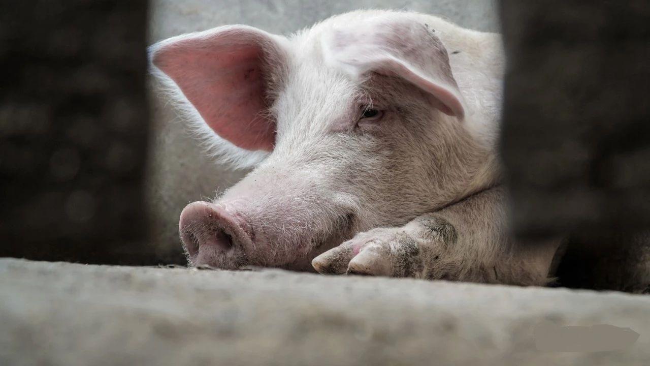 养殖户谈猪色变,如何打消生猪养殖户复养的心头顾虑?